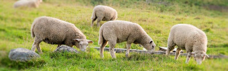 Schafe auf dem Spielbrett – nicht nur für Hirten
